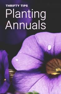 thrifty planting tips annuals