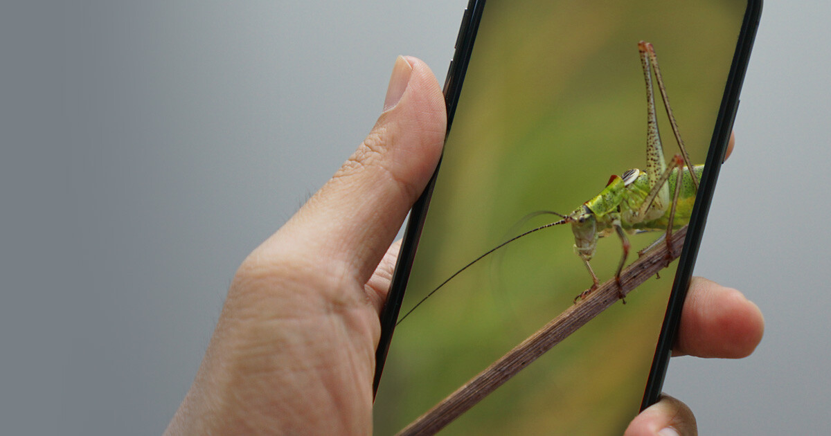 Cricket picture on phone screen