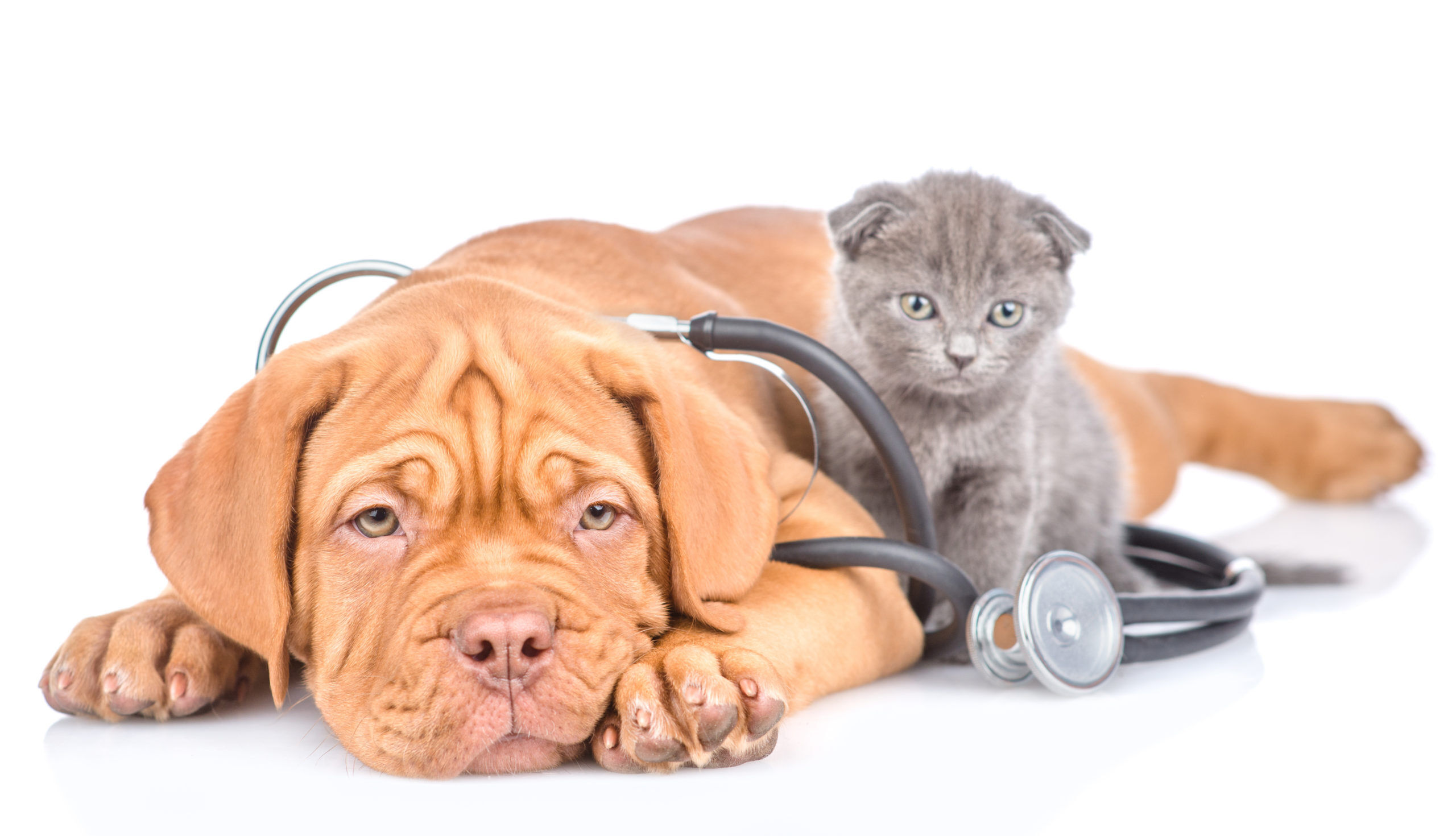 Types of pet insurance - Dog and Cat with stethoscope